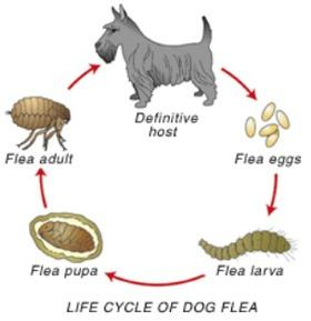 flea_cycle